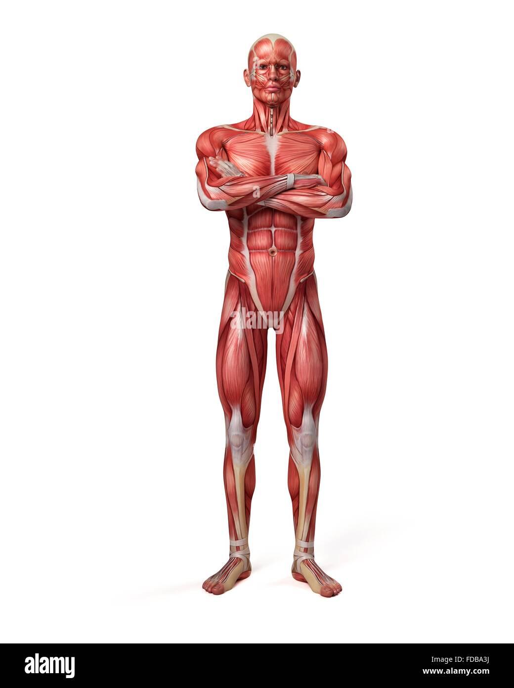El sistema muscular de un hombre con los brazos cruzados ...