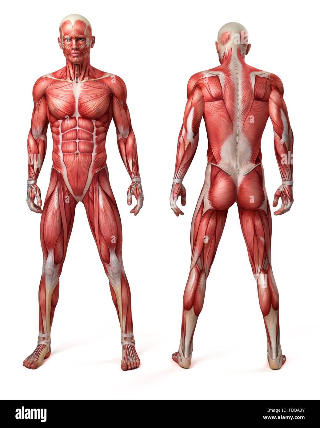 Vista frontal y trasera del sistema muscular masculina, ilustración ...