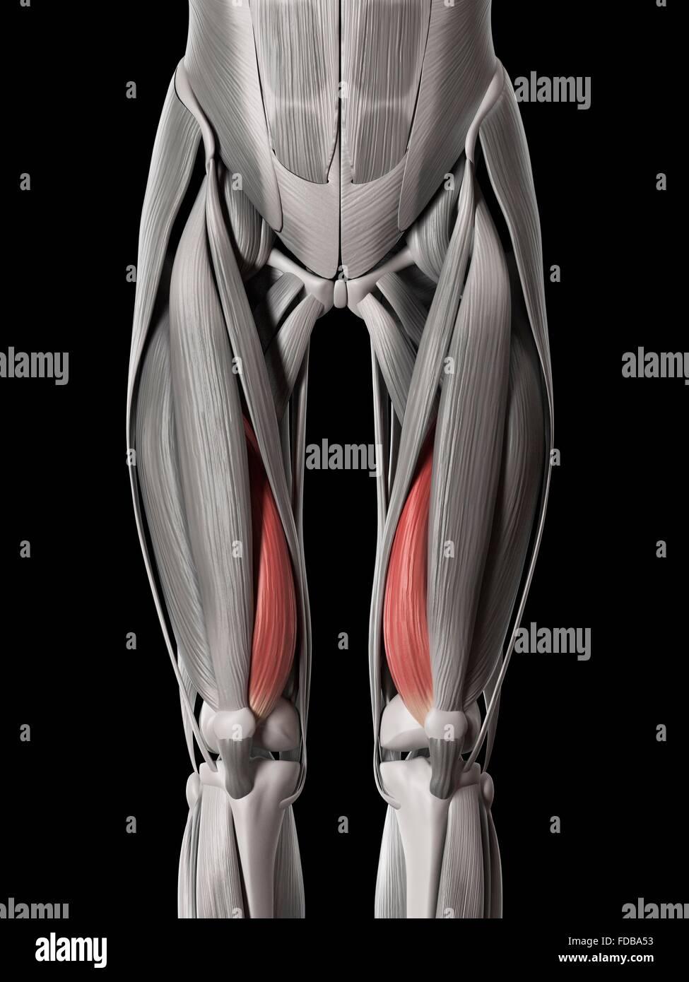 Los músculos de la pierna humana (Vastus Medialis), ilustración Foto ...