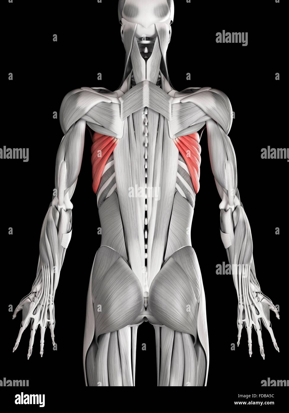 Anterior View Of The Muscles Imágenes De Stock & Anterior View Of ...