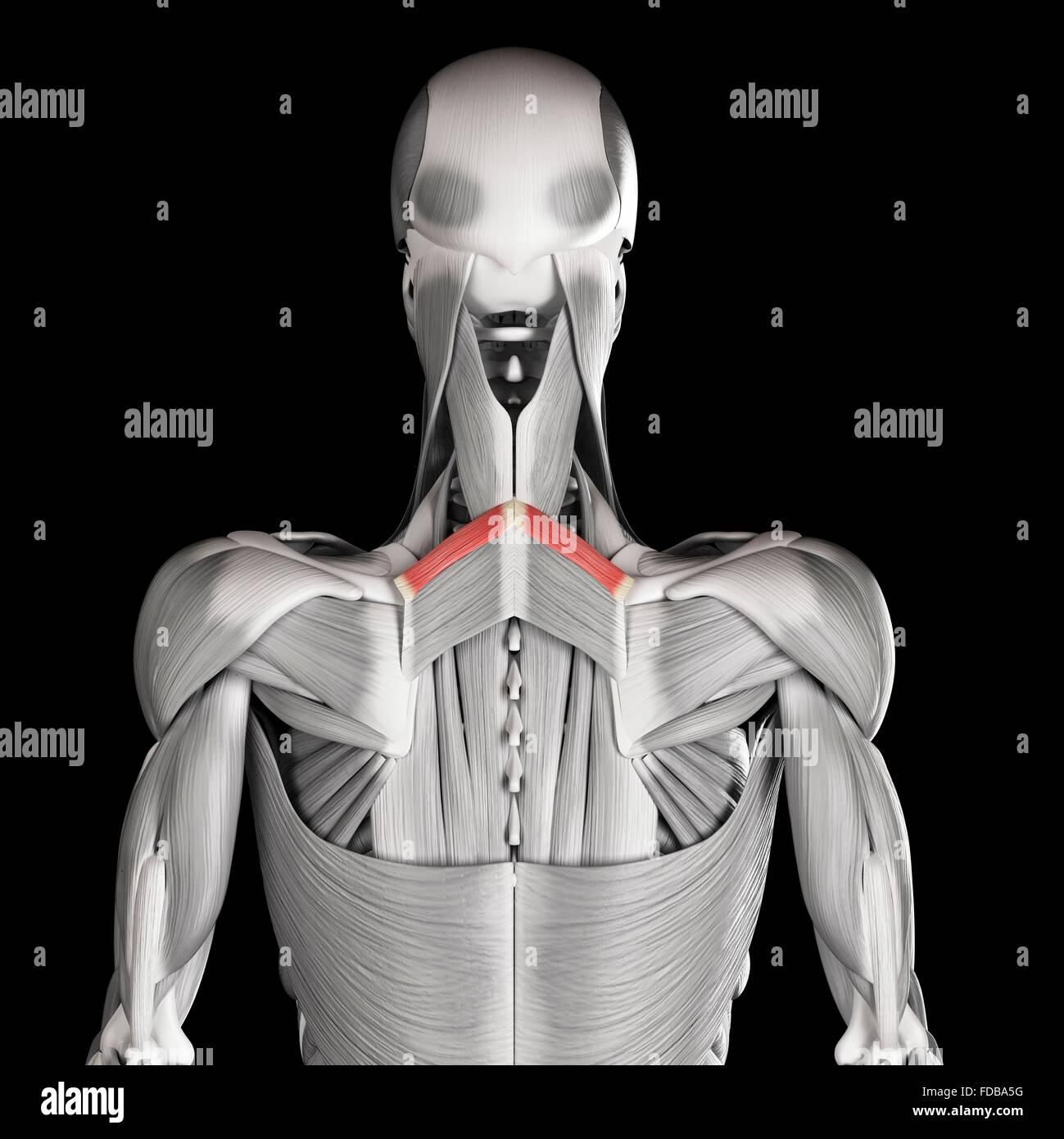 Fantástico Menor Músculos Anatomía Back Embellecimiento - Imágenes ...