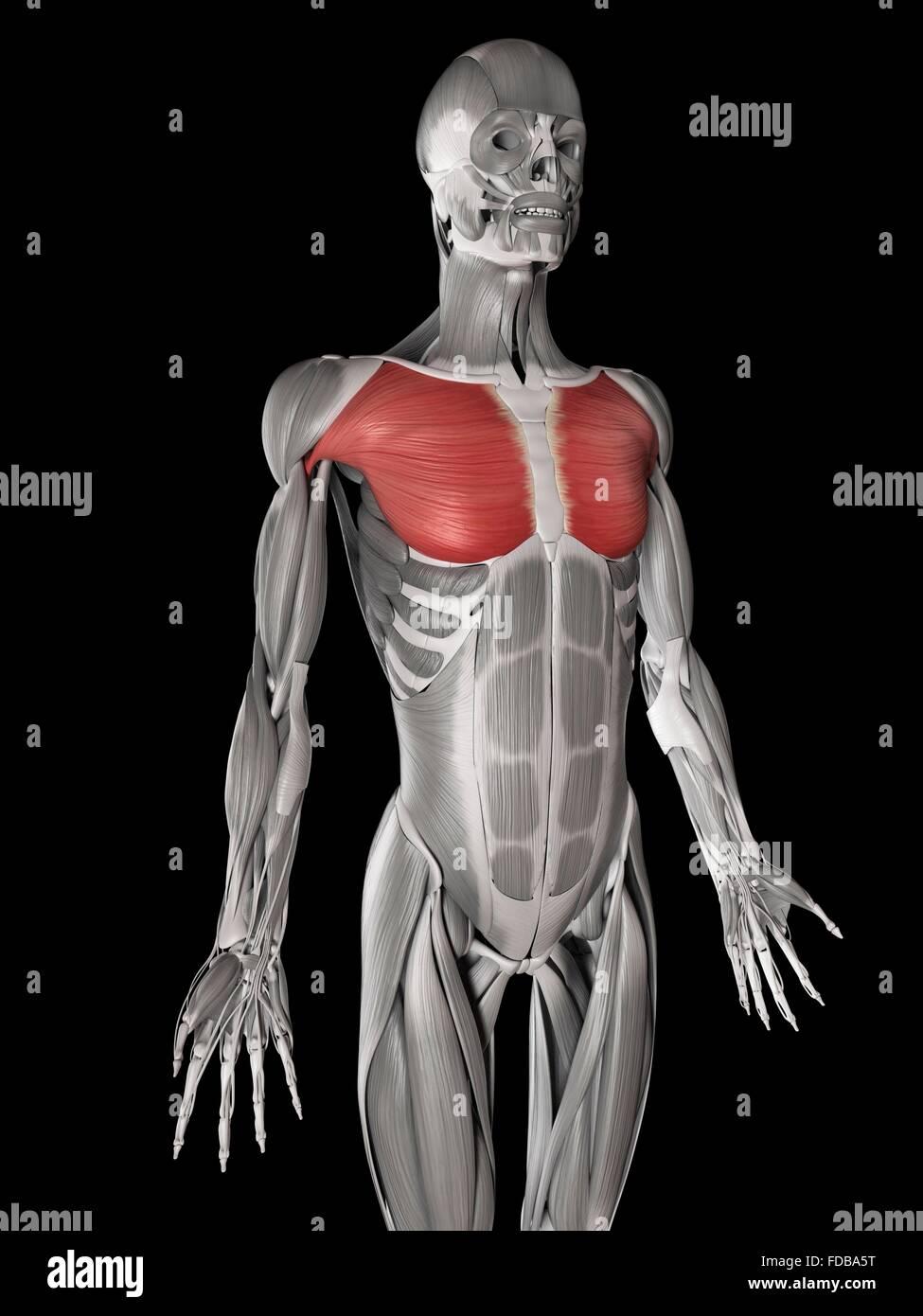 Derechos músculos del pecho (pectoral mayor), ilustración Foto ...