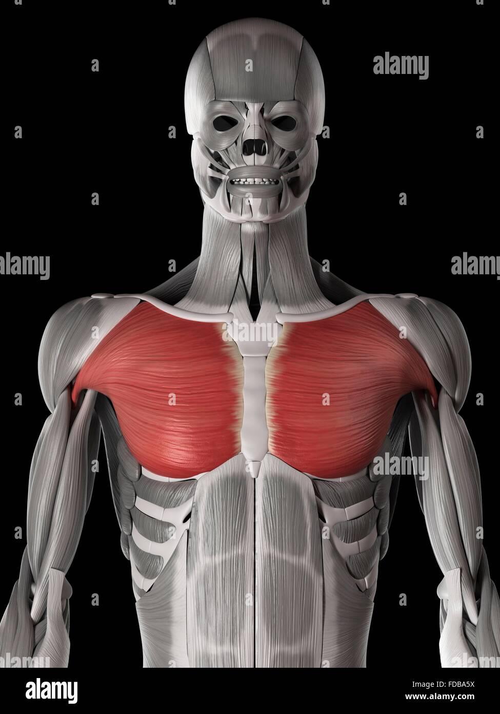 Increíble Diagrama De Músculo Del Pecho Galería - Imágenes de ...