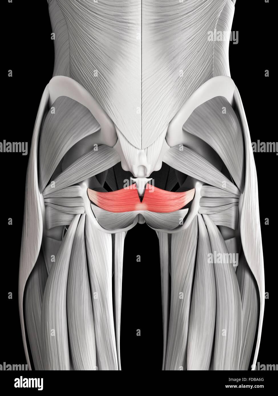 El músculo humano (coccygeus), ilustración. Imagen De Stock