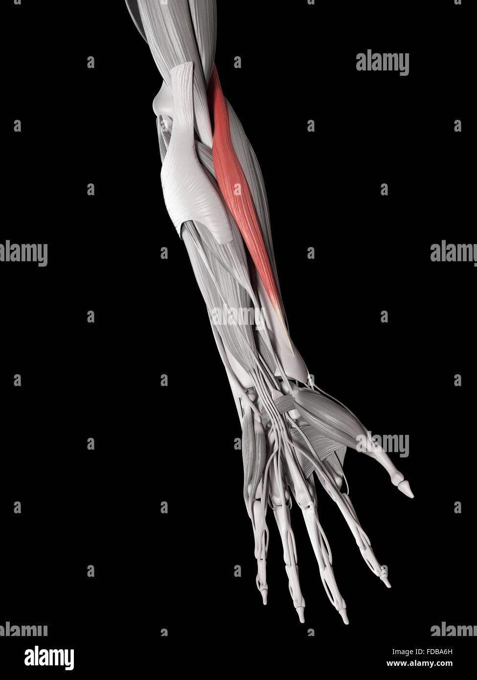 El músculo humano del brazo (brachioradialis), ilustración. Imagen De Stock