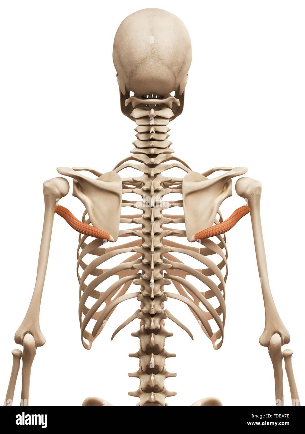 Fantástico Los Músculos Del Hombro Imágenes - Imágenes de Anatomía ...
