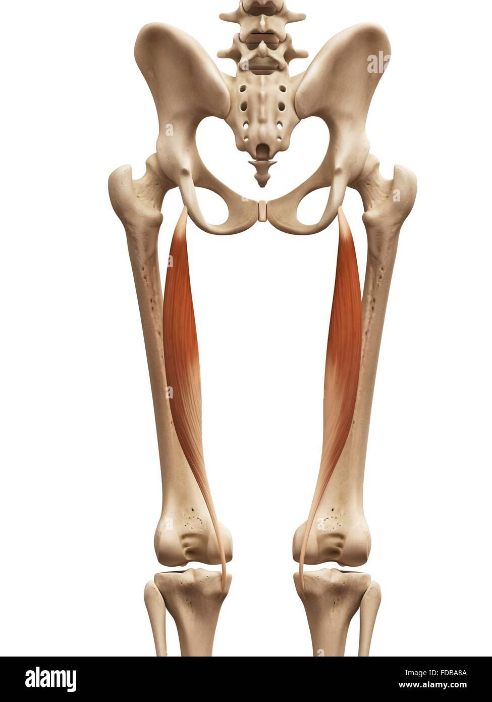 Los músculos de la pierna humana (semitendinoso), ilustración Foto ...