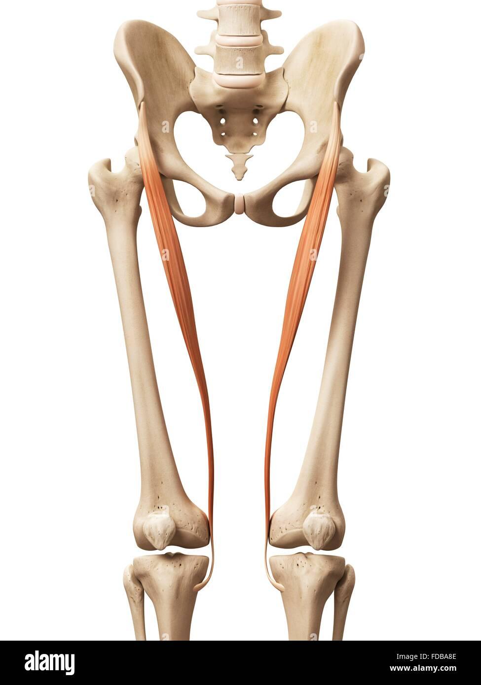 Los músculos de la pierna humana (sartorius), ilustración Foto ...