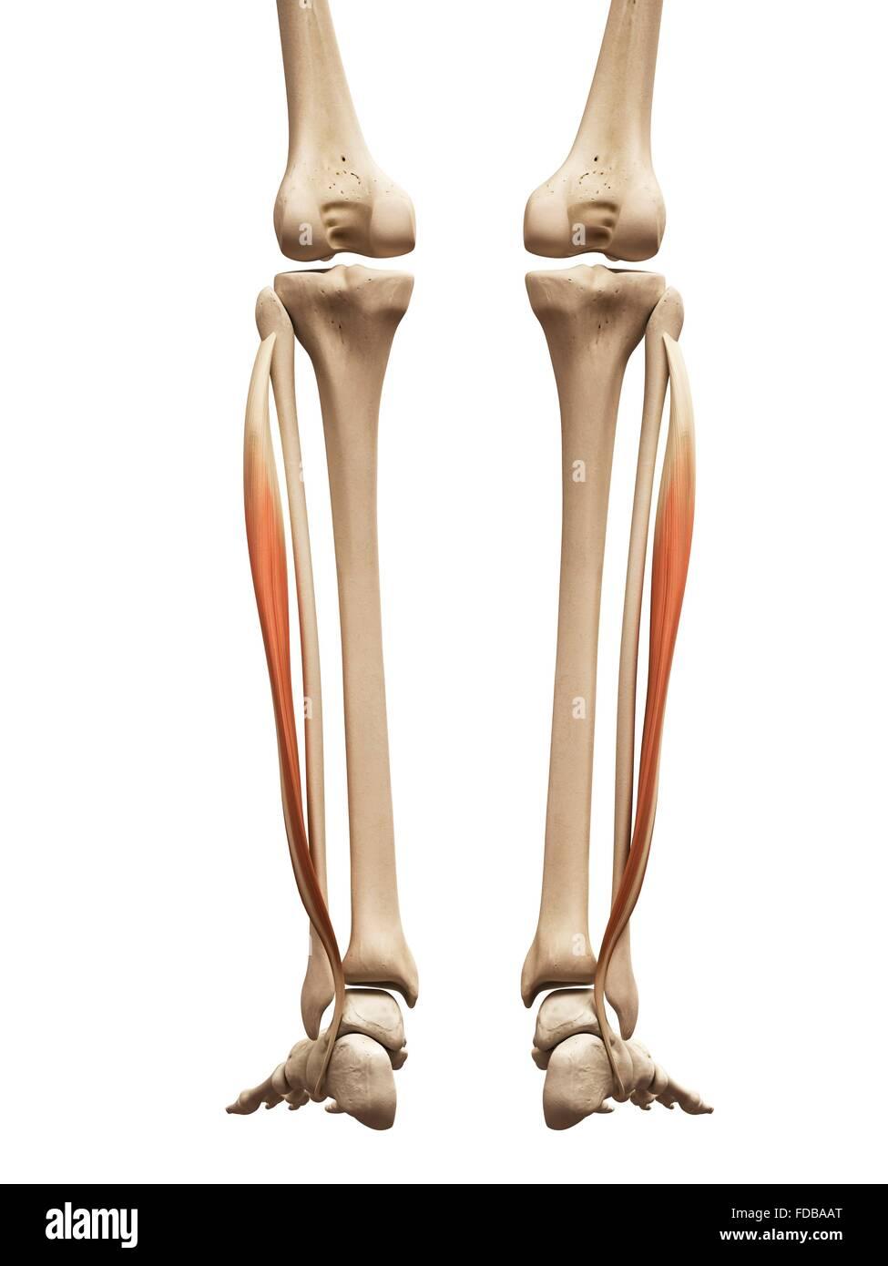Los músculos de la pierna humana (fibularis longus), ilustración ...