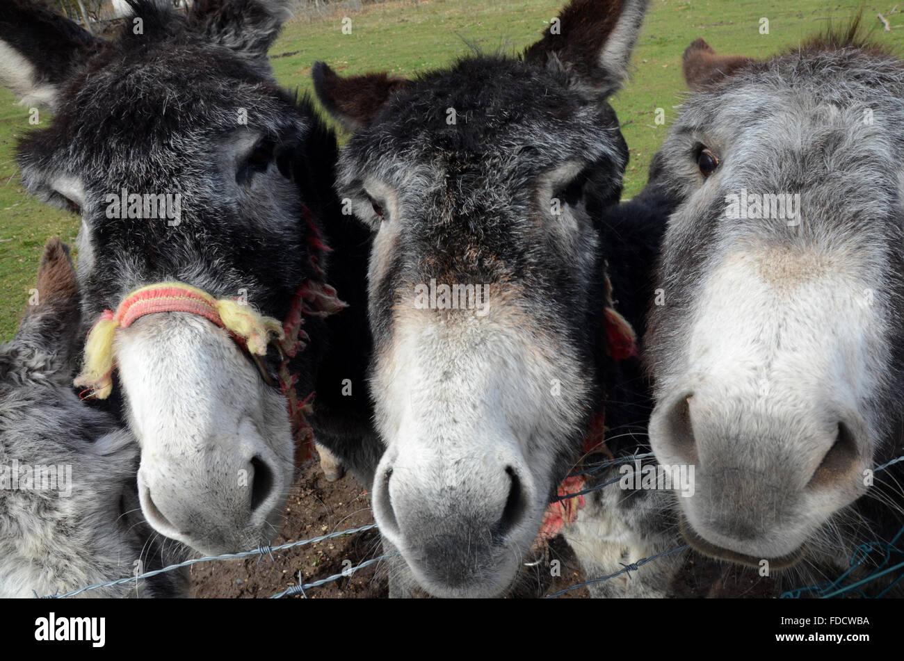 Rollamienta, España. 30 ene, 2016. Tres burros mirar curiosly en cámara en Rollamienta, España, donde Imagen De Stock