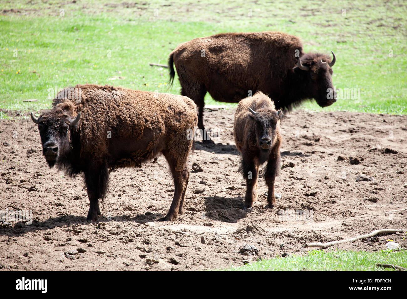 Búfalos adultos protegiendo un joven ternero en una finca comercial. Pierz MN Minnesota EE.UU. Imagen De Stock