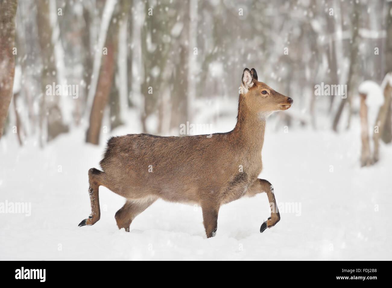 Joven ciervo en invierno bosque Foto de stock