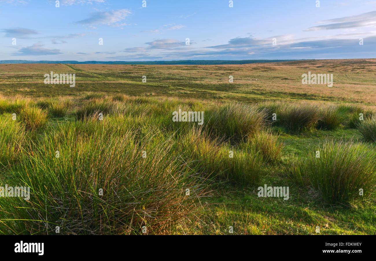 North Yorkshire Moors National Park al amanecer en verano con pasto de algodón y heather cerca Levisham, Yorkshire, Imagen De Stock