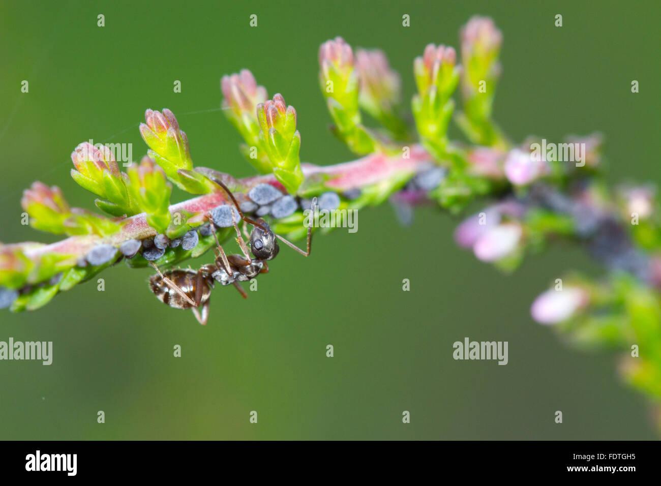Negro hormiga (Formica fusca) trabajador adulto tendiendo los áfidos en brezo común o Ling (Calluna vulgaris). Powys, Gales. De septiembre. Foto de stock