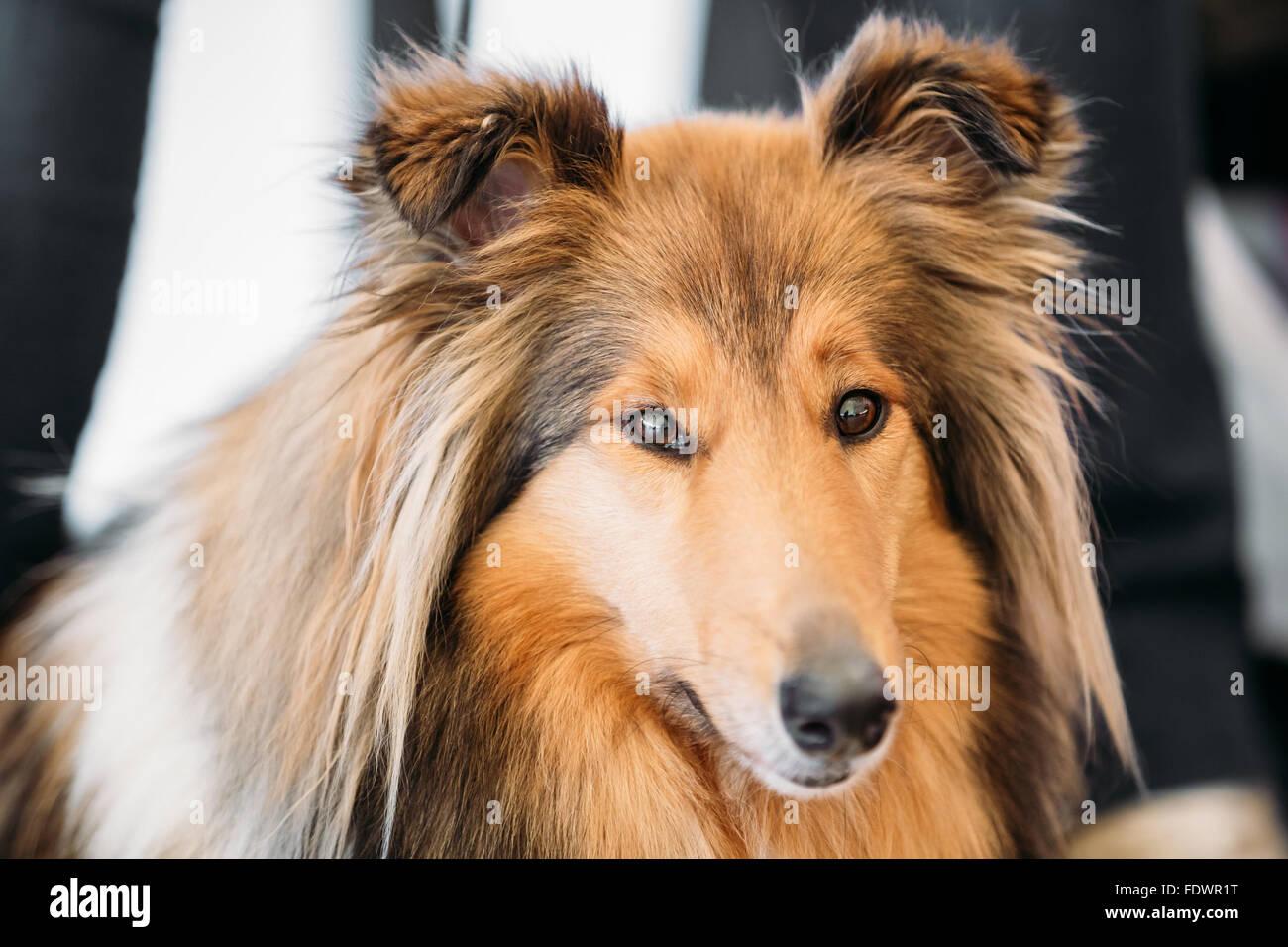 El Ovejero de Shetland, a menudo conocido como el Pastor de Shetland, Collie, es una raza de perro de pastoreo. Ellos son vocales, excitable, enérgicos perros Foto de stock