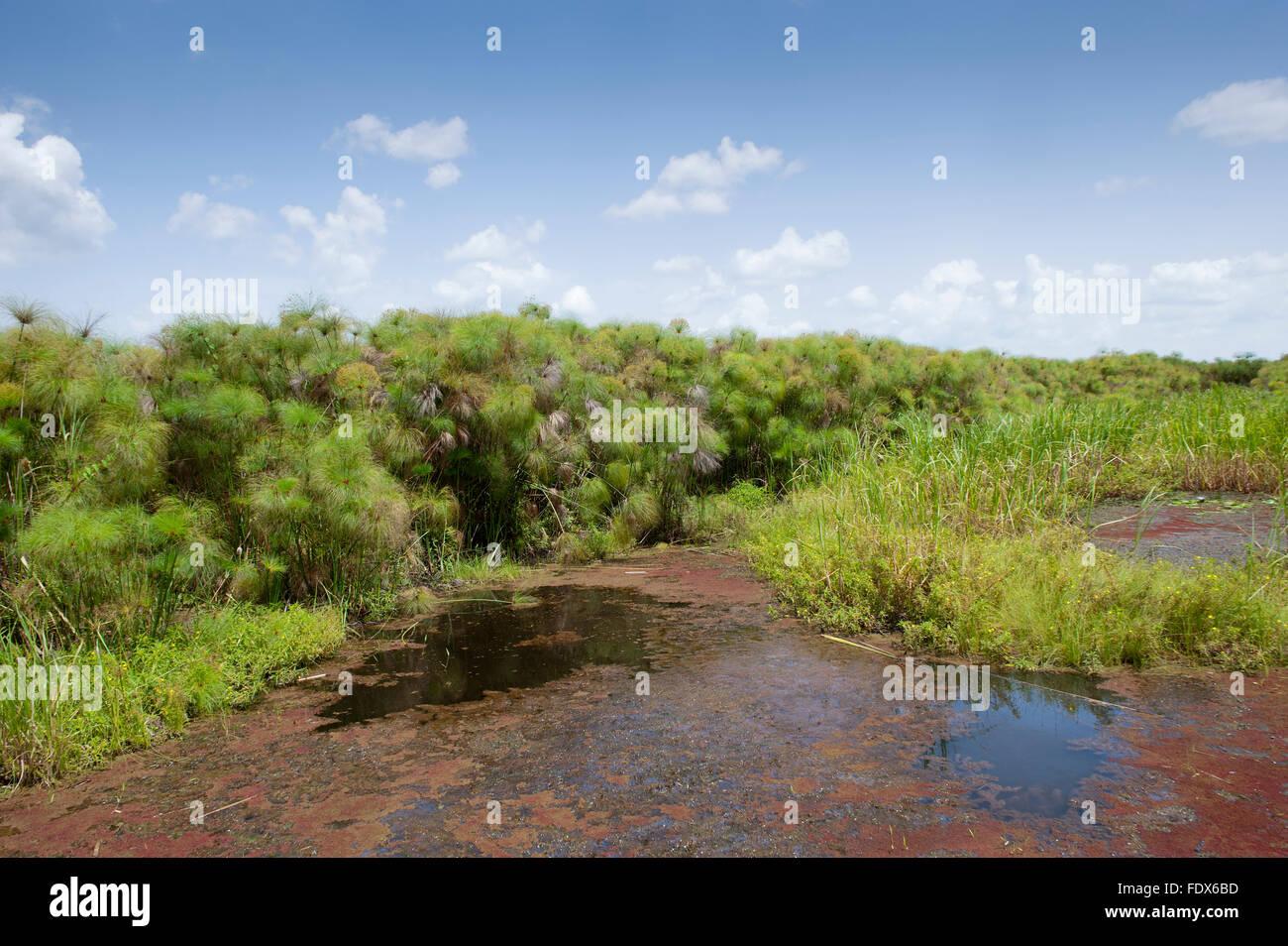 Pantanos Paparyus en Uganda. Imagen De Stock