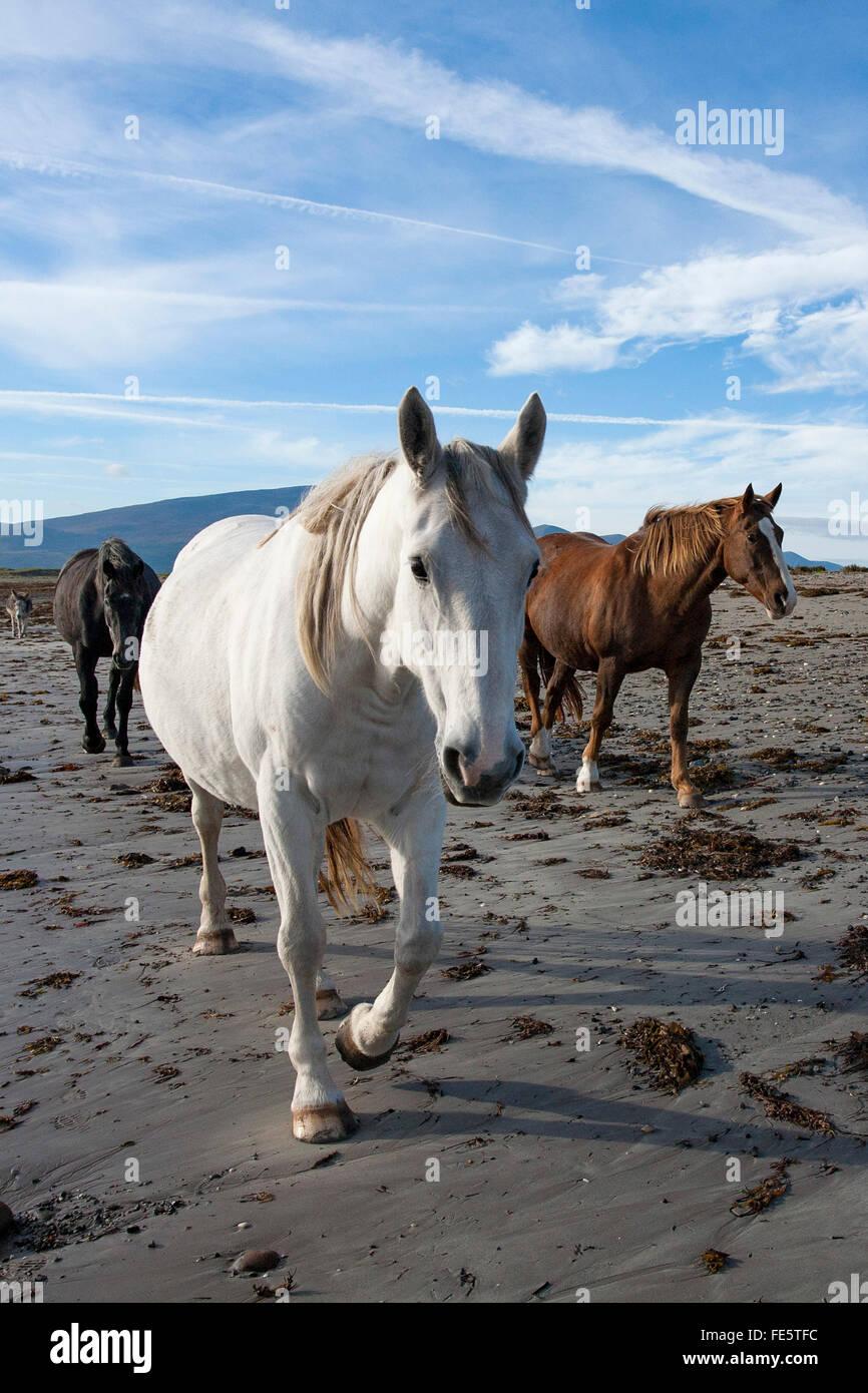 Los caballos en la playa, el Magherees, la península Dingle, Condado de Kerry, Irlanda. Imagen De Stock