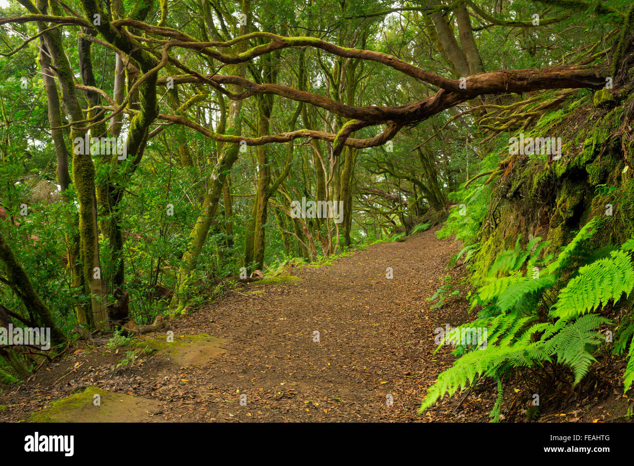 La laurisilva en las montañas Anaga en Tenerife, Islas Canarias, España. Imagen De Stock