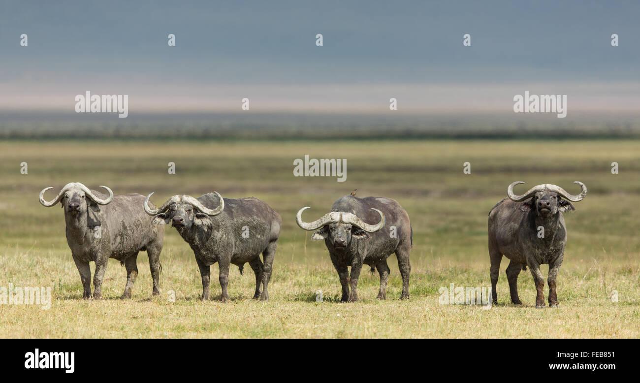Cuatro toros de búfalo del Cabo alerta permanente en el Parque Nacional de Serengeti, Tanzania Imagen De Stock