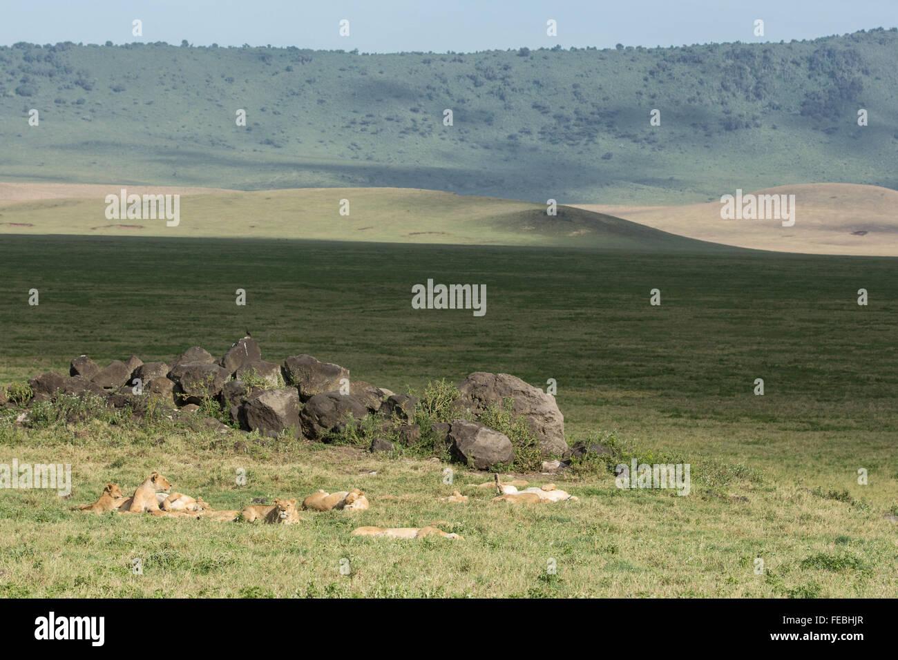 Orgullo de leones africanos descansando en el cráter del Ngorongoro Tanzania Imagen De Stock