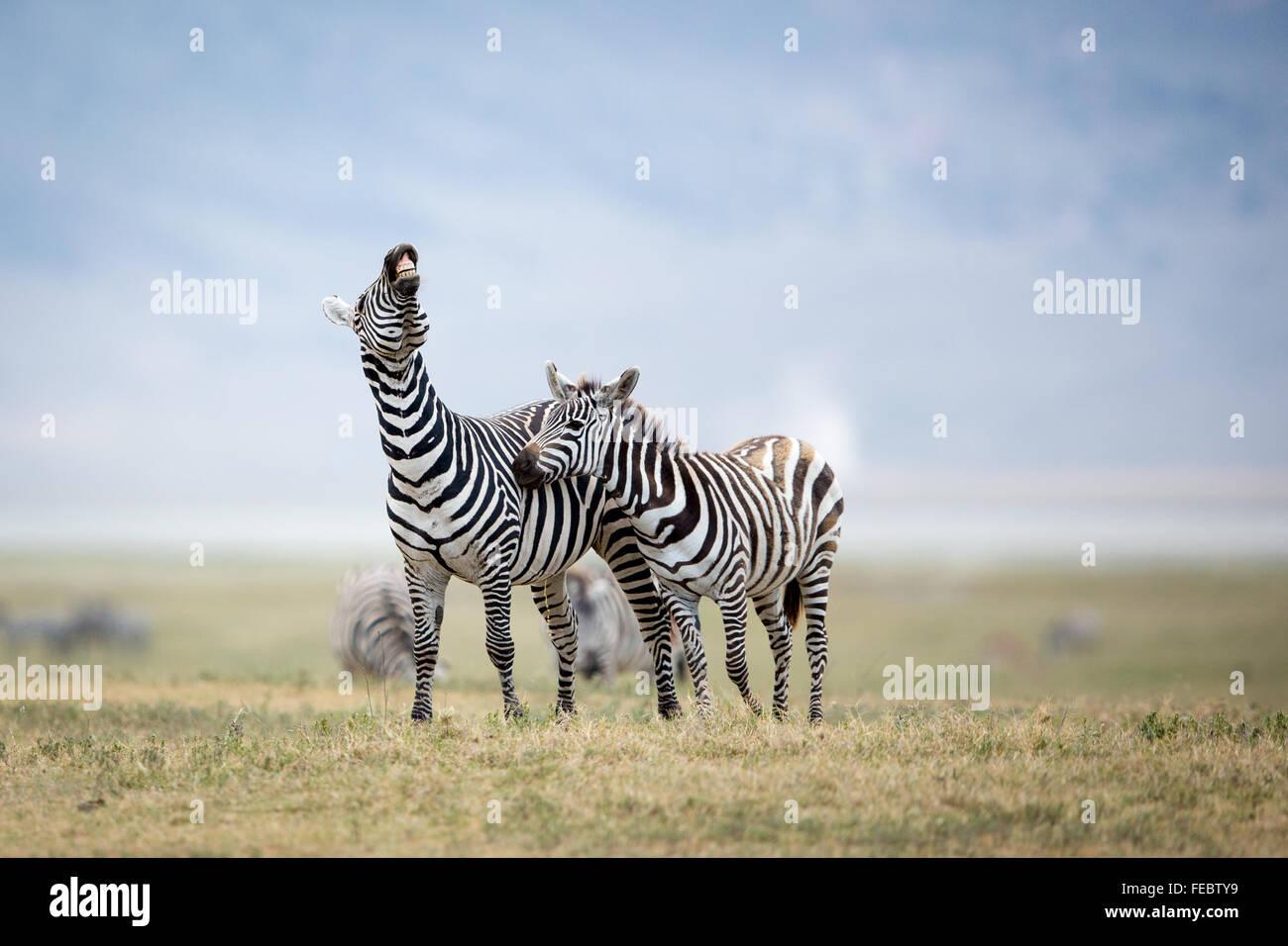 Dos llanuras Zebra combates en las planicies del cráter del Ngorongoro Tanzania Imagen De Stock