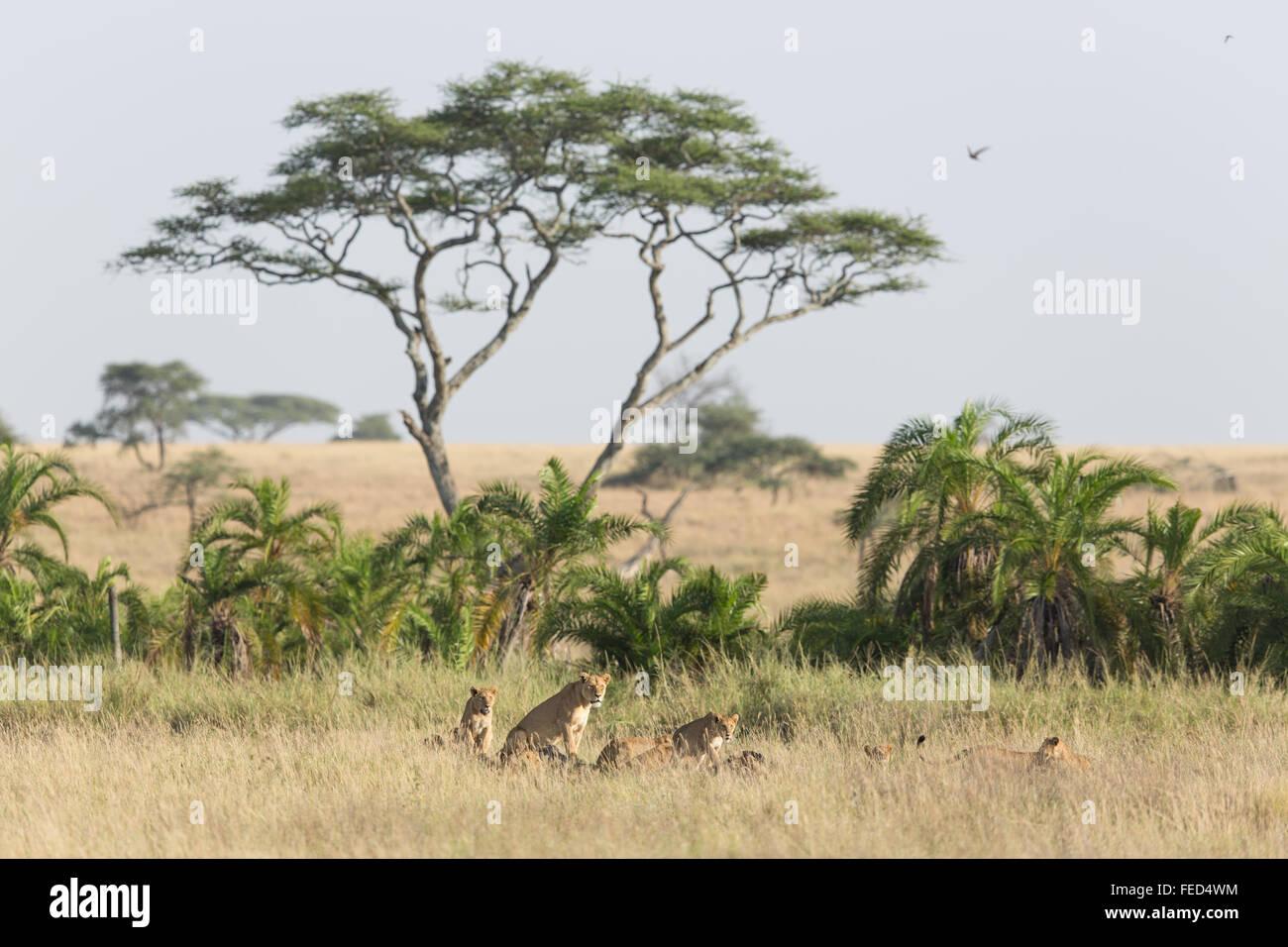 Orgullo de leones africanos en el Parque Nacional del Serengeti en Tanzania Imagen De Stock