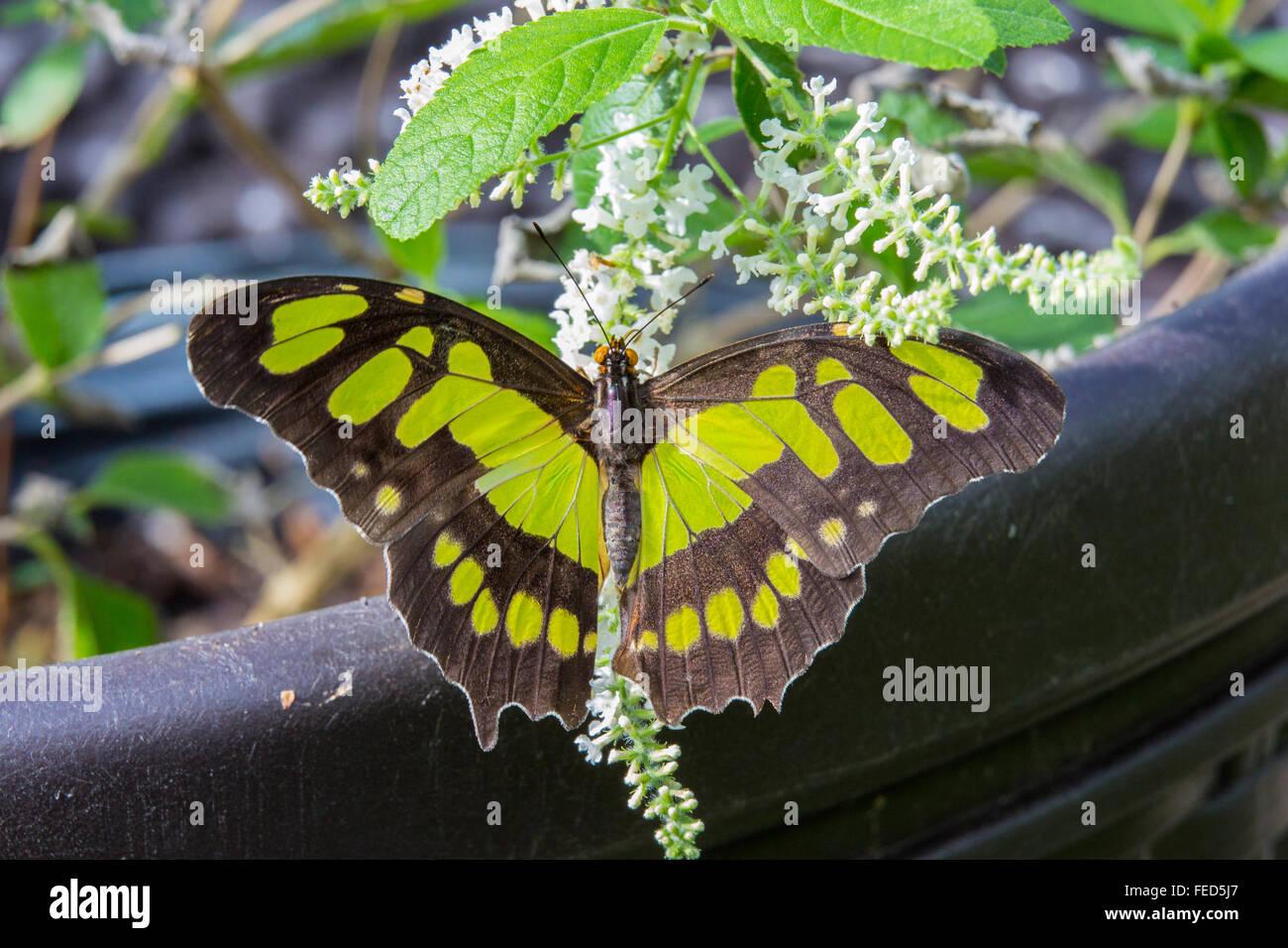Primer plano de Malaquita Siproeta stelenes Mariposa en una flor en las fincas de mariposas en Fort Myers Florida Foto de stock