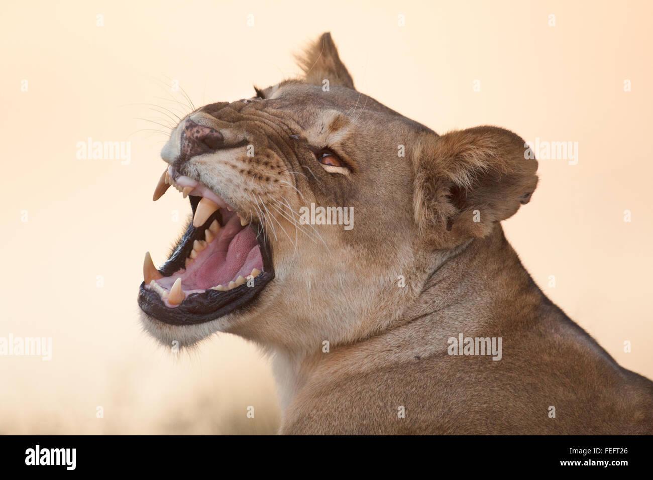 León en la sabana arbolada abierta Imagen De Stock