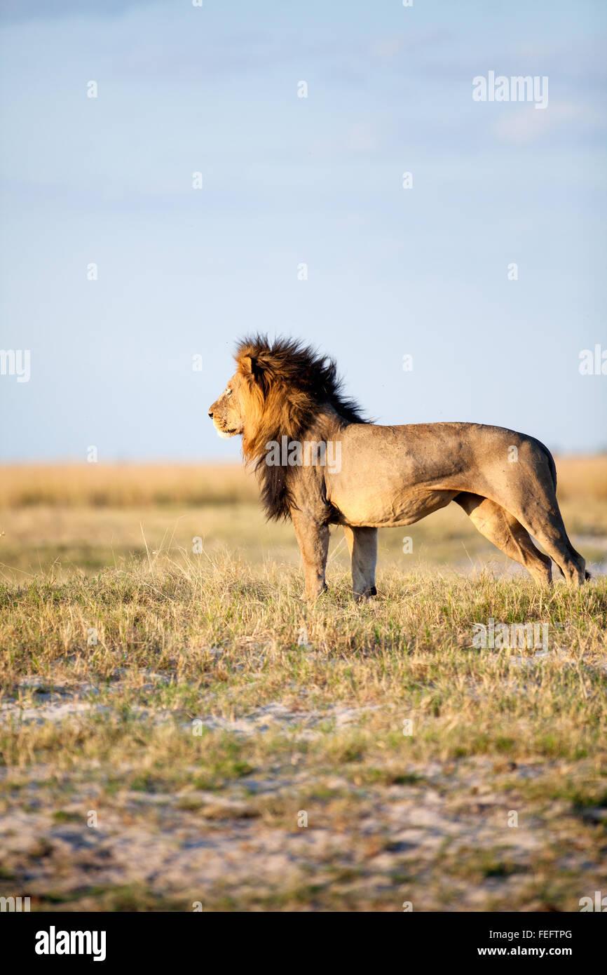 León Africano en la sabana arbolada Imagen De Stock