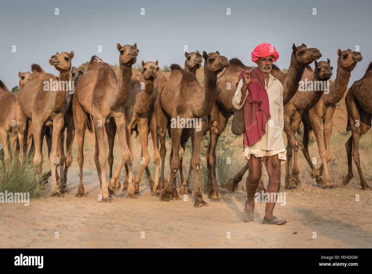 Conductor de camellos con sus camellos en el camino a Pushkar Mela, Feria de camellos de Pushkar, Rajastán, Imagen De Stock