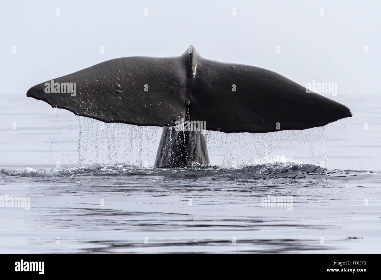 Cachalote que se zambulle en su cola sobre la superficie del agua. Imagen De Stock