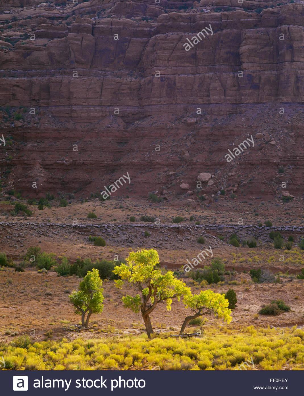 Árboles de chopo en el Valle de los dioses. Tiene orejas National Monument, el sureste de Utah. Imagen De Stock