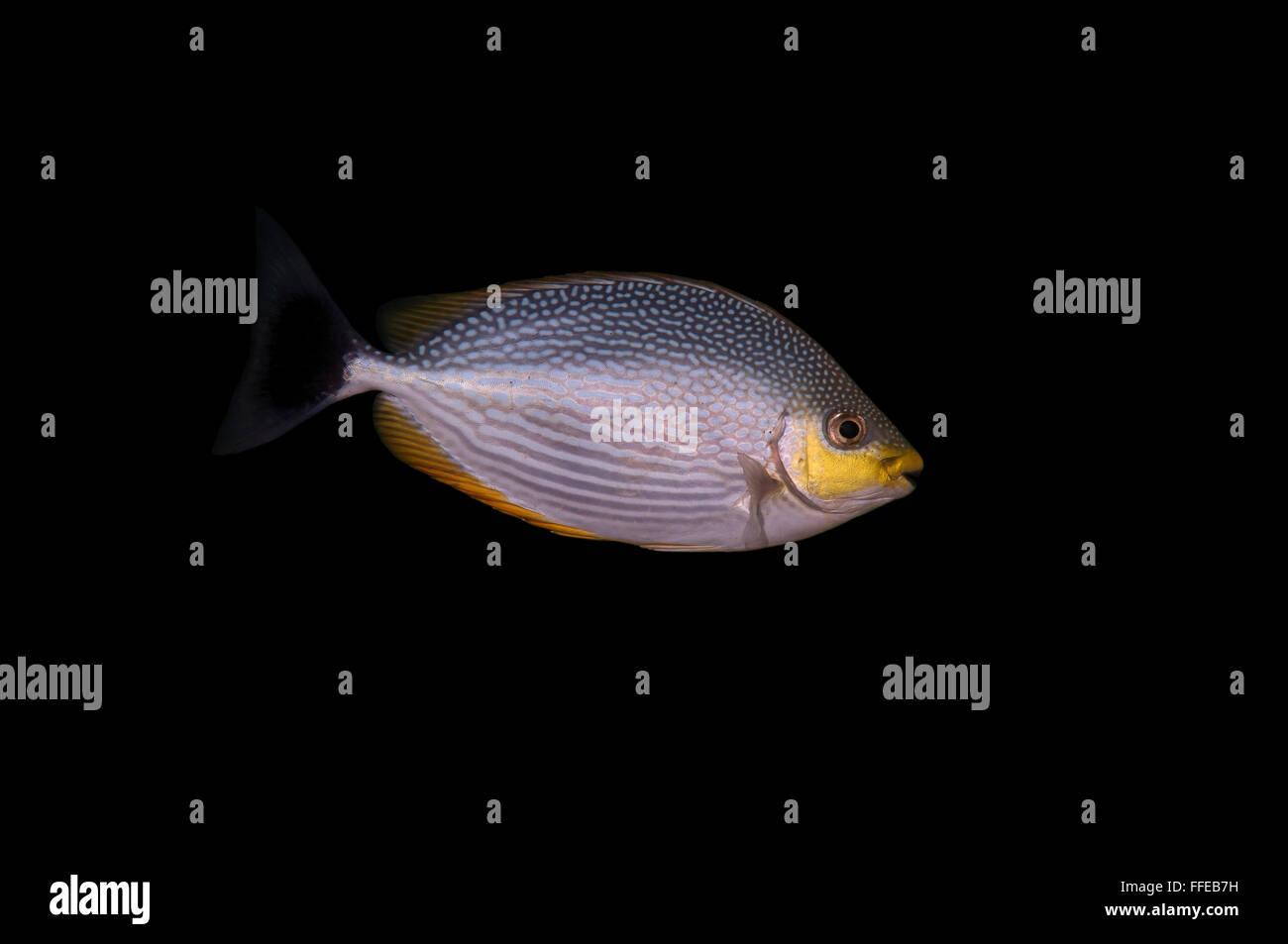 Spinefoot spinefoot rayas, rayas o Java Siganus javus rabbitfish (Océano Índico), Hikkaduwa, Sri Lanka, Imagen De Stock