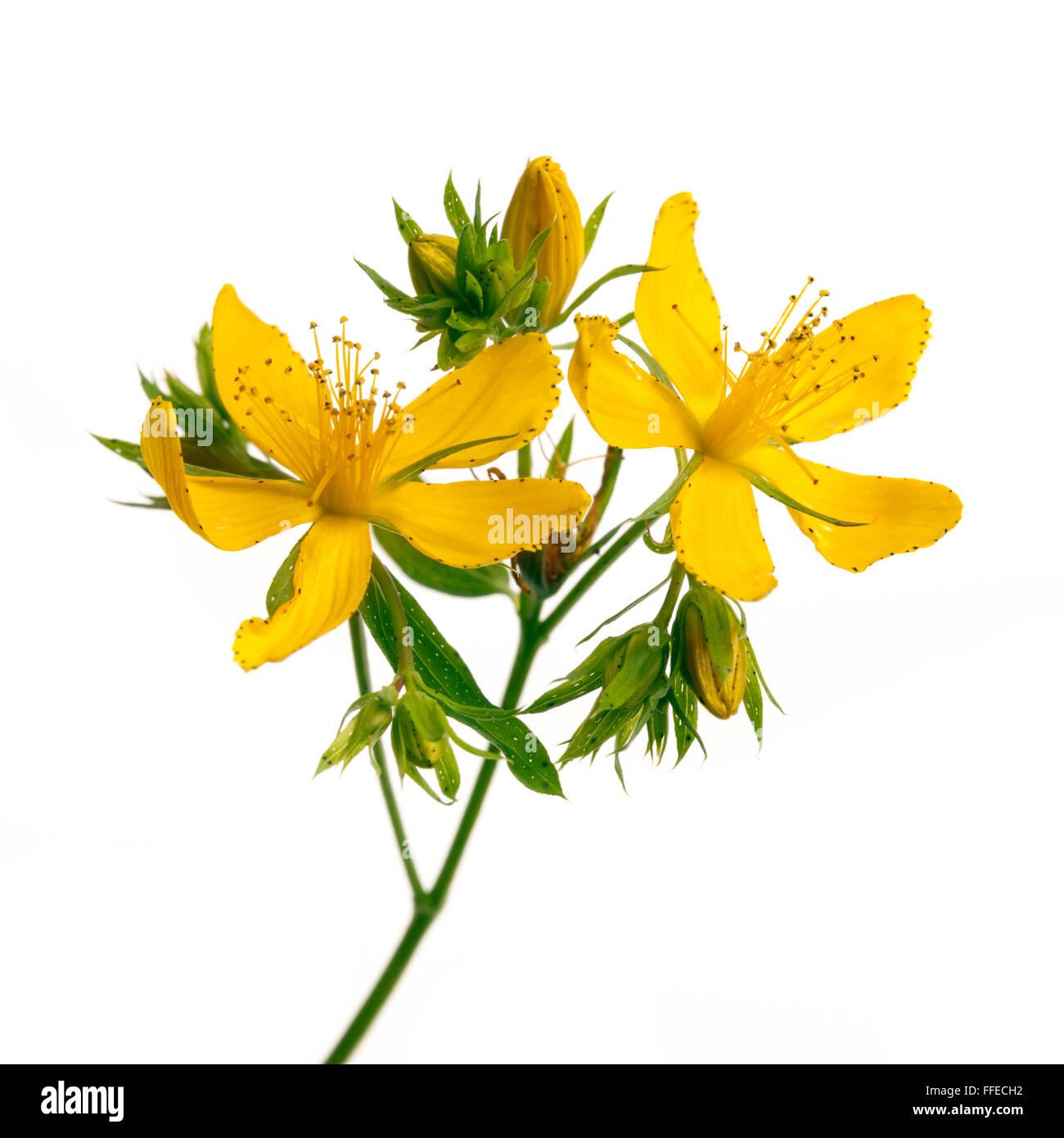 Plantas Medicinales Frescas De Hiperico Sucursal Closeup Con Flores