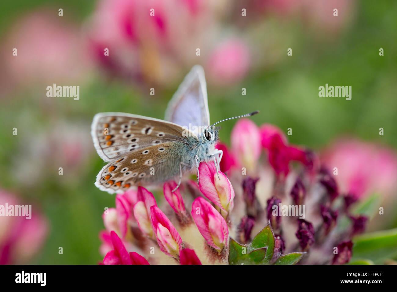 Mariposa Azul común; Polyommatus icarus sola hembra en Flor Anglesey; UK Imagen De Stock