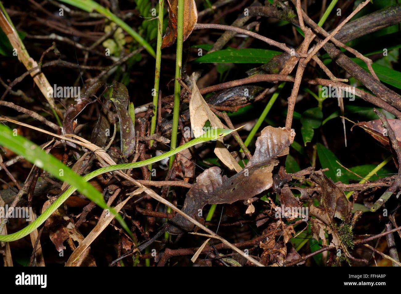 Árbol de hocico largo, Serpiente verde serpiente de vid, de hocico largo látigo asiático o SERPIENTE SERPIENTE (vid Ahaetulla nasuta) de la Reserva Forestal de Sinharaja, Foto de stock