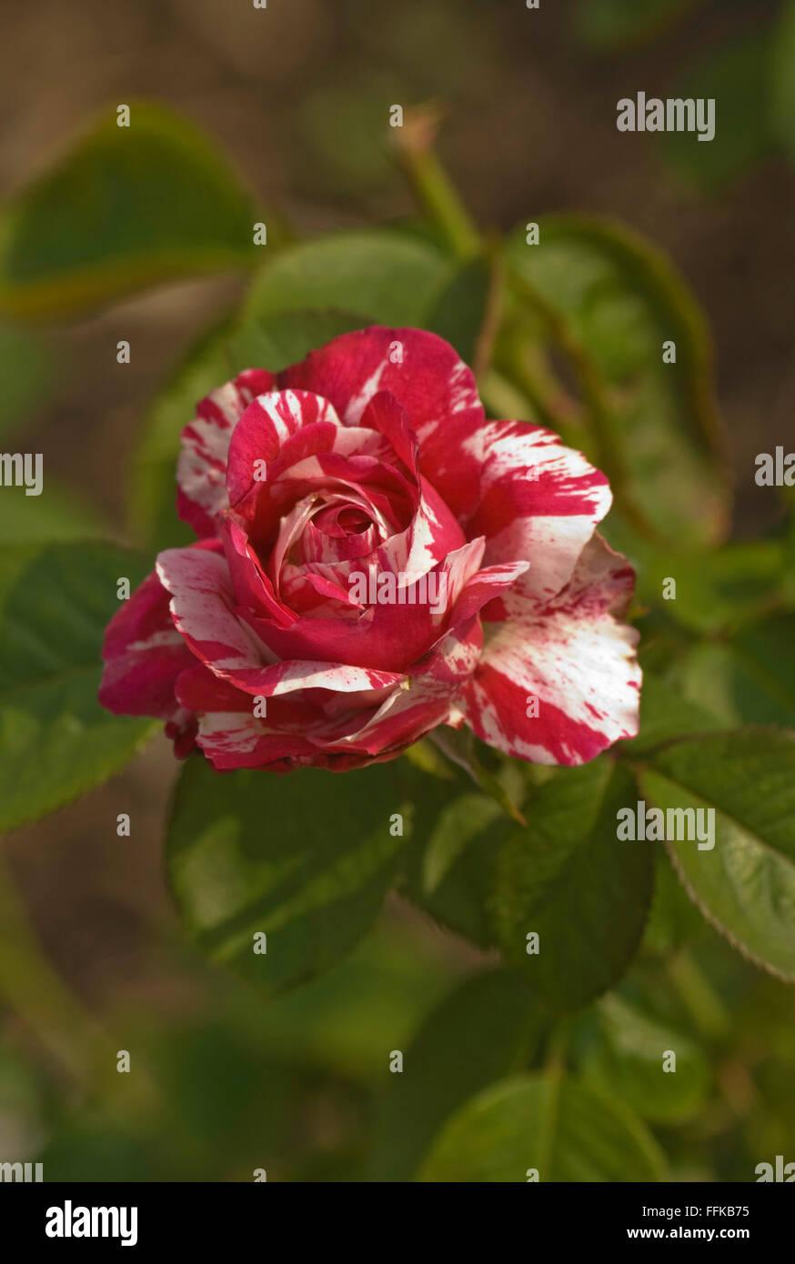 Rosa, Rosa SCENTIMENTAL Foto de stock