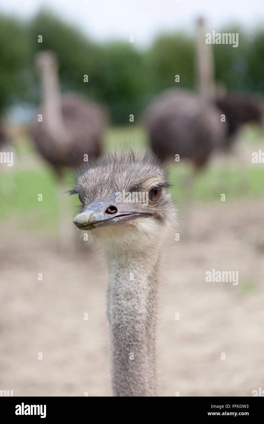 Jóvenes de avestruces en una granja de aves Imagen De Stock