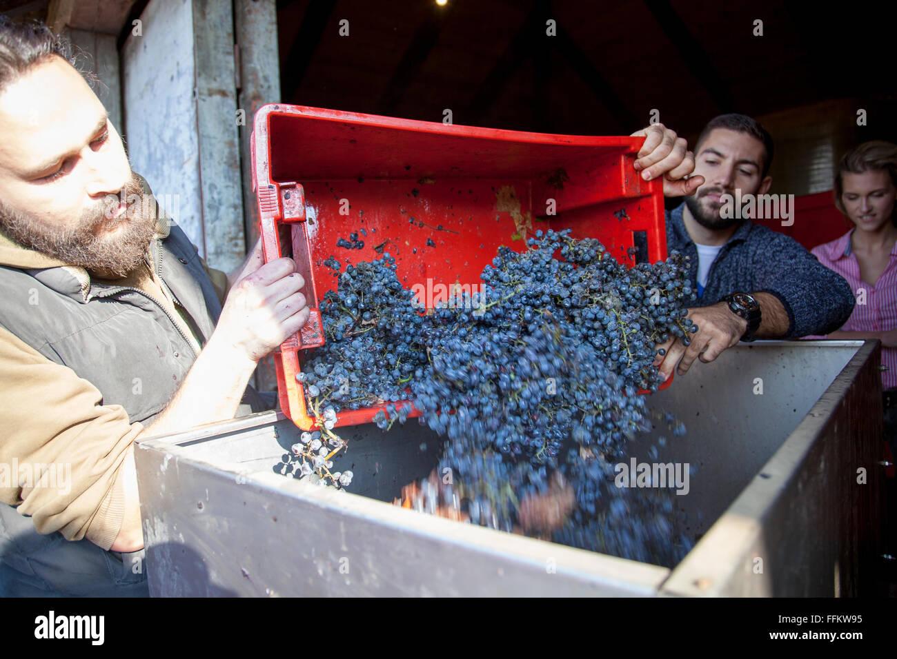 Dos hombres se descarga en un recipiente de uvas en el viñedo Foto de stock