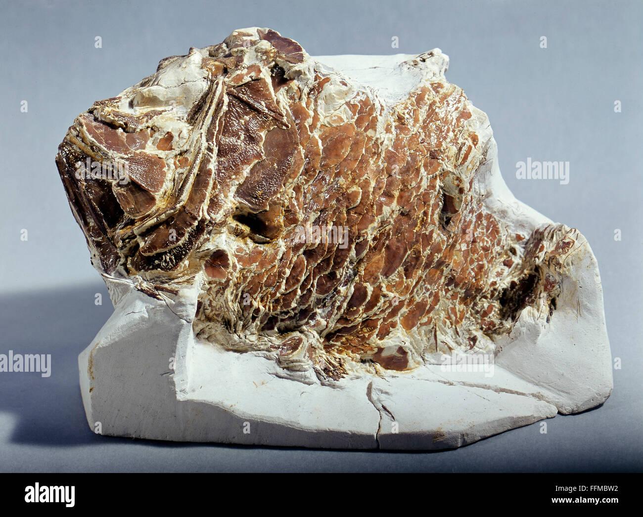 La prehistoria, fósil, peces de coral en un bloque de tiza cretácea, Dover, Inglaterra, colección Imagen De Stock