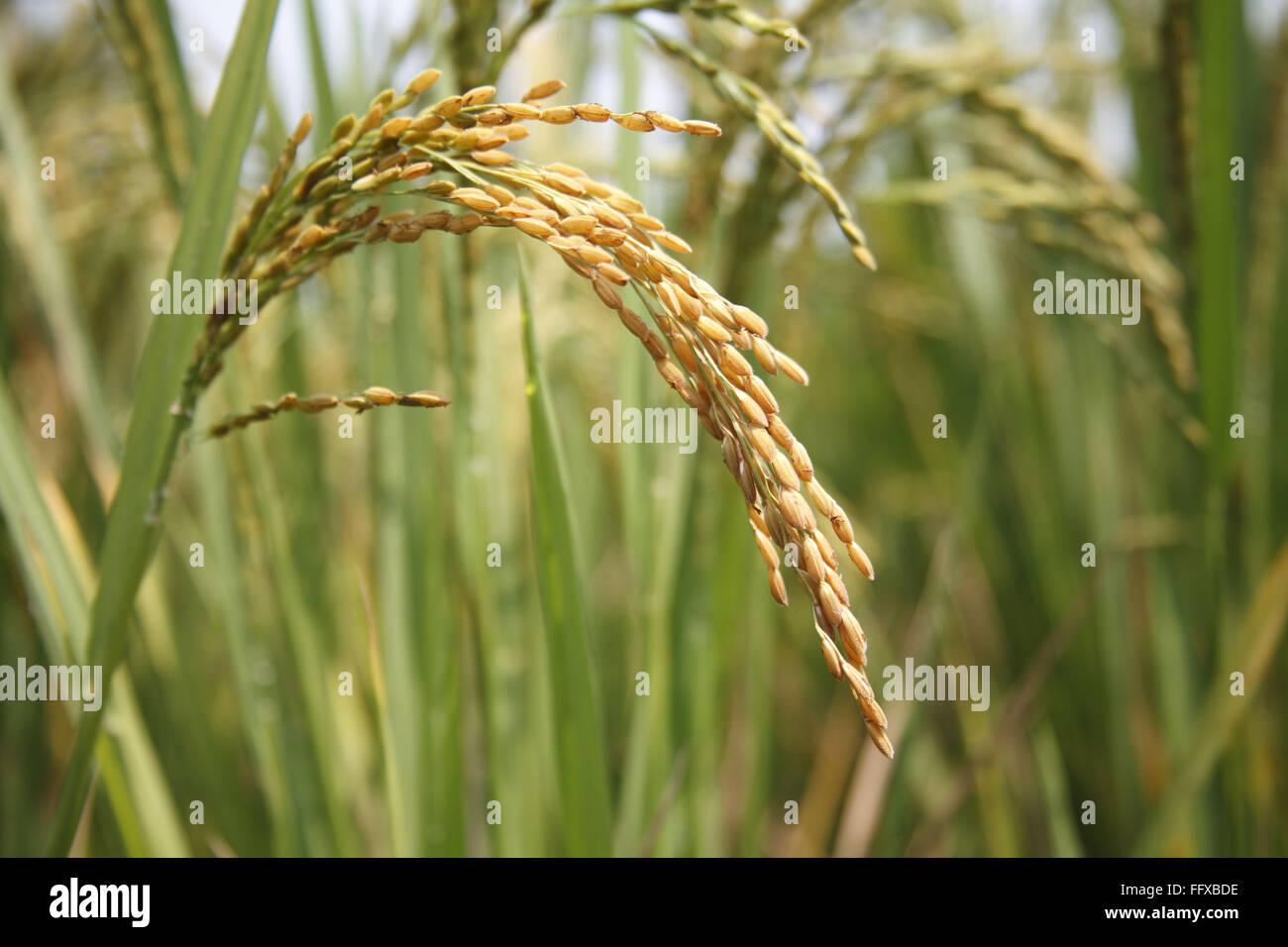 El grano , cerca de madurado listos para la cosecha de arroz en los arrozales, Tamil Nadu, India Imagen De Stock