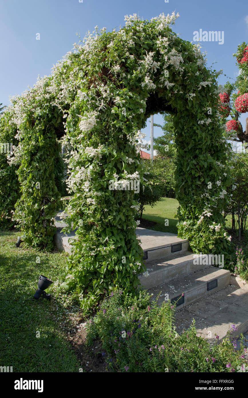 Jardín ornamental arch apoyando una federación de vid, Fallopia baldschuanica, en flor, Bangkok, Tailandia Foto de stock