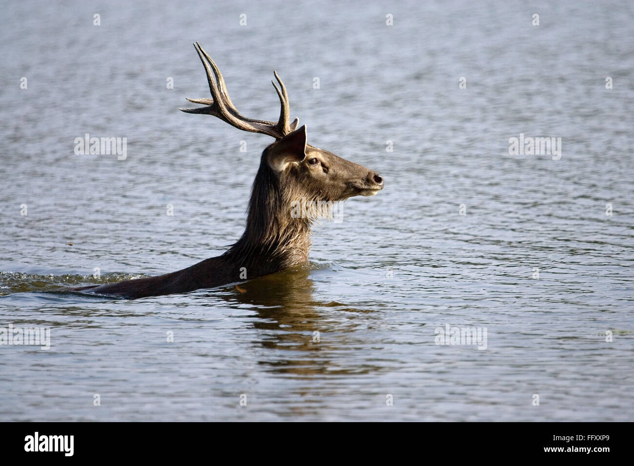 Sambar deer ciervo Cervus unicolor nadar en agua , la reserva de tigres de Ranthambore , Rajasthan, India Foto de stock
