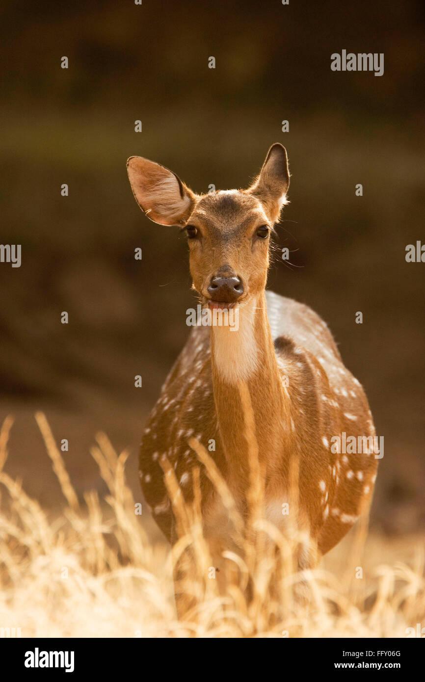 Chital o Ciervos Axis axis en el Parque nacional de Ranthambore, Rajasthan, India Foto de stock