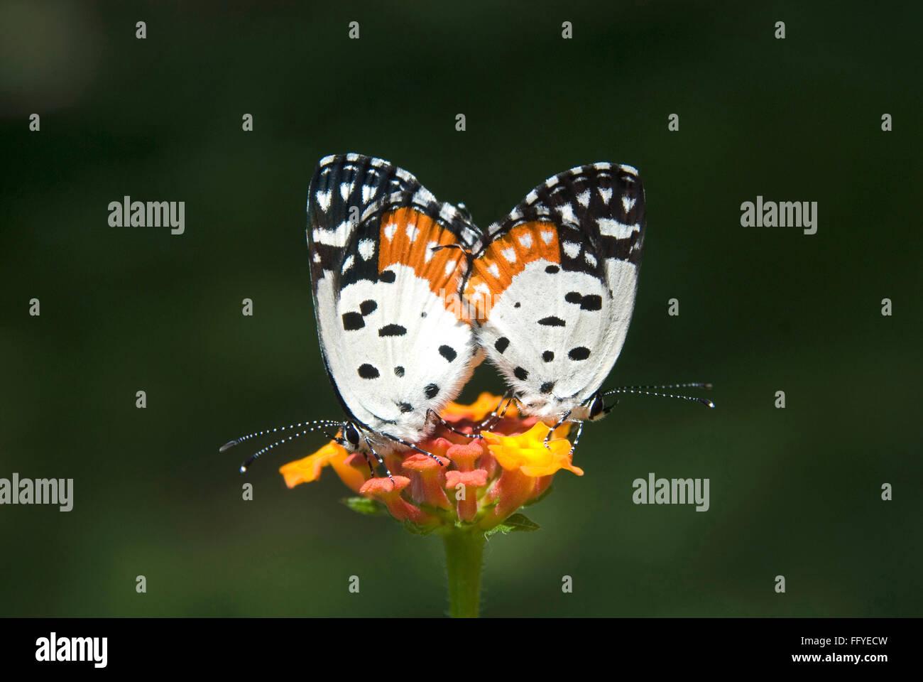Rojo Pierrot apareamiento Parque de Mariposas Bannerghatta en Bangalore en Karnataka, India Imagen De Stock