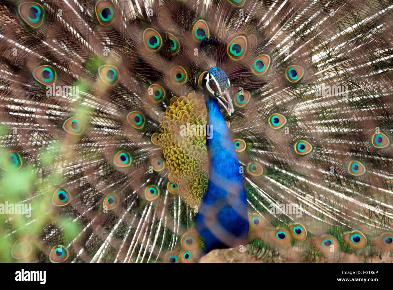 Bird , pavo real ave nacional de baile con plumas de pavo real abierto Foto de stock