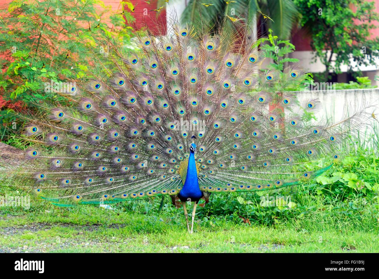 Peacock Peafowl Surat Gujarat India Asia Sept 2010 Foto de stock