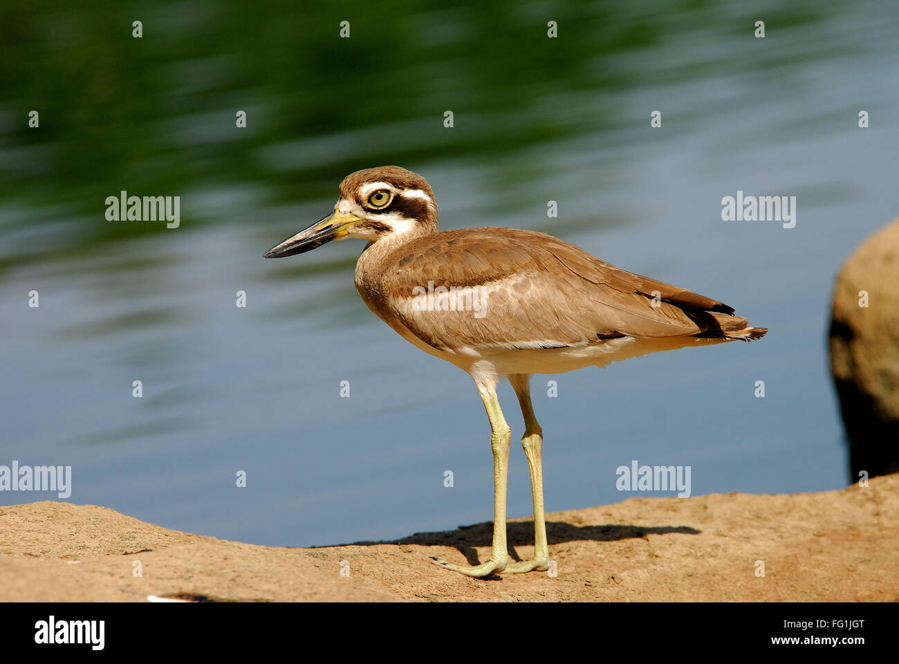 Las aves , piedra Patinegro Esacus recurvirostris Foto de stock