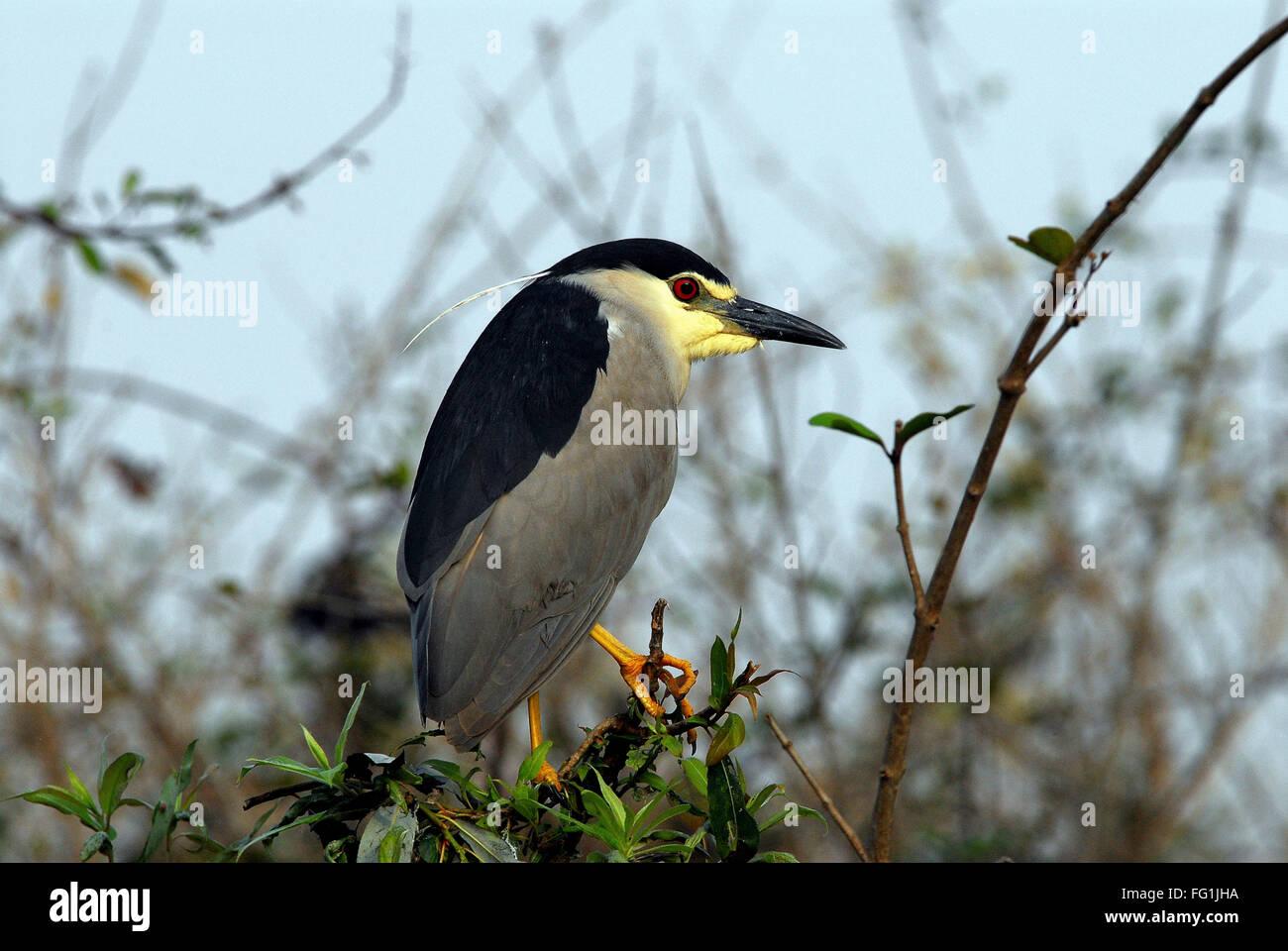 Las aves , negro coronado Garza nocturna Nycticorax Foto de stock