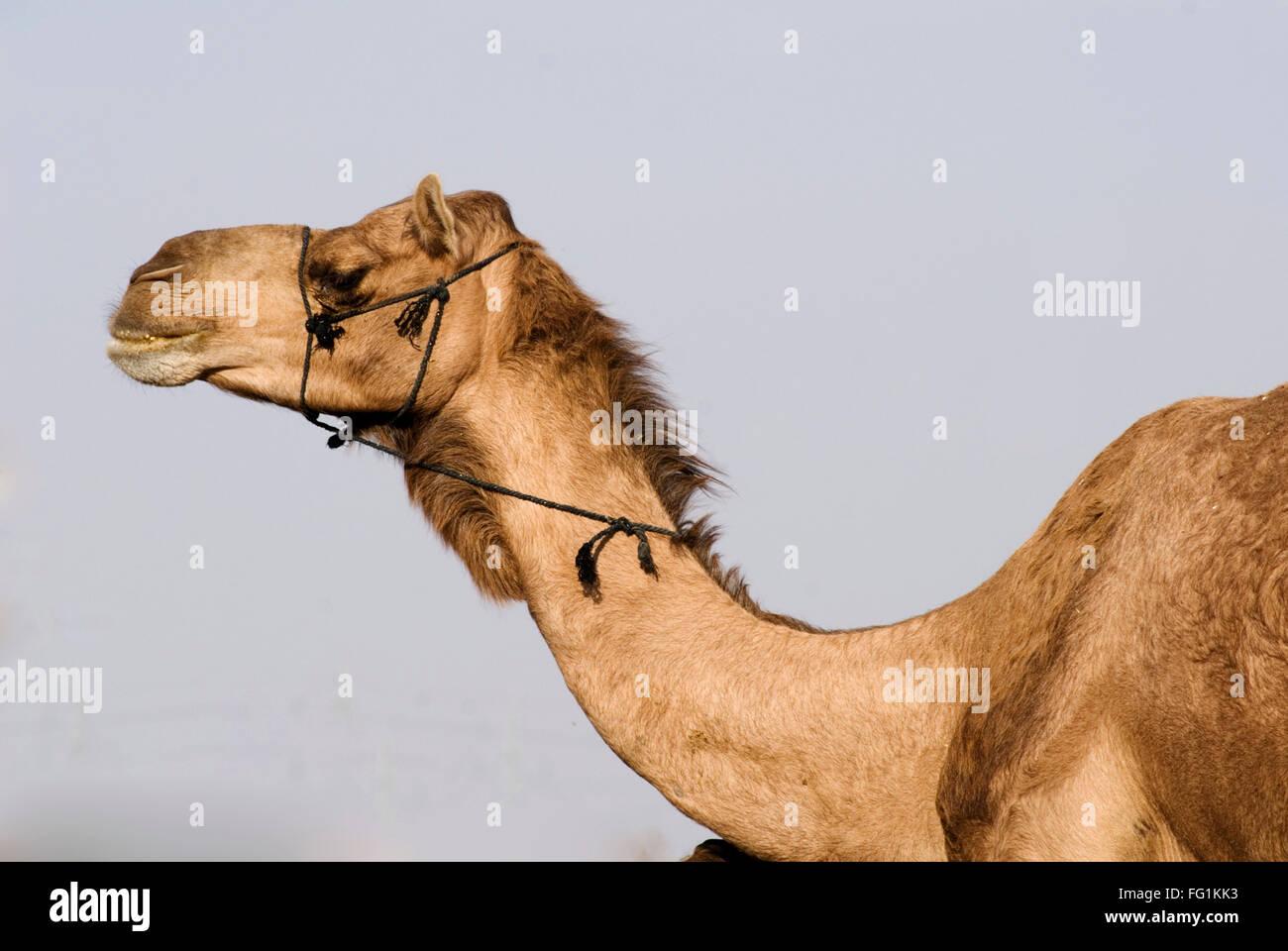 Camello en camello, Centro de Investigación de Bikaner, Rajasthan, India Foto de stock